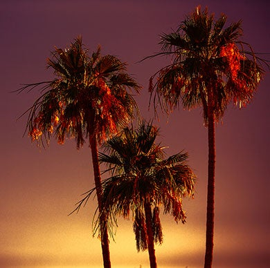 Palm Trees with evening skyline